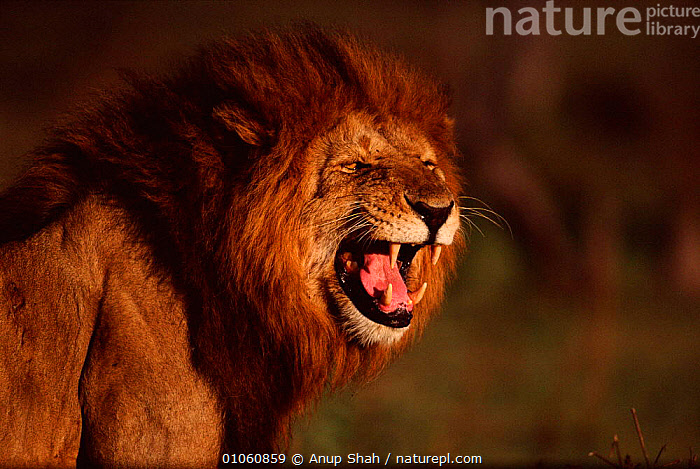 Lion {Panthera leo} male snarling. Masai Mara NR, Kenya, CARNIVORES,FACES,MALE,MASAI,AGGRESSION,ANUP,PORTRAITS,POWERFUL,MOUTHS,VOCALISING,KENYA,NR,PORTRAIT,VOCALISATION,CATS,EAST AFRICA,HORIZONTAL,MARA,TEETH,MAMMALS,SNARLING,AFRICA,CONCEPTS,LIONS,BIG CATS, Anup Shah