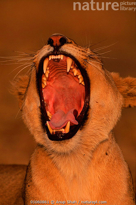 Head portrait of lioness (Panthera leo) yawning. Masai Mara NR, Kenya, East Africa, MOUTHS,EAST AFRICA,KENYA,NR,VERTICAL,BIG,HUMOROUS,YAWNING,ACTION,MASAI,TEETH,HEADS,LIONESS,OUTSTANDING,CARNIVORES,PORTRAITS,FEMALES,FACES,MAMMALS,MARA,AFRICA,CONCEPTS,LIONS,BIG CATS, Anup Shah