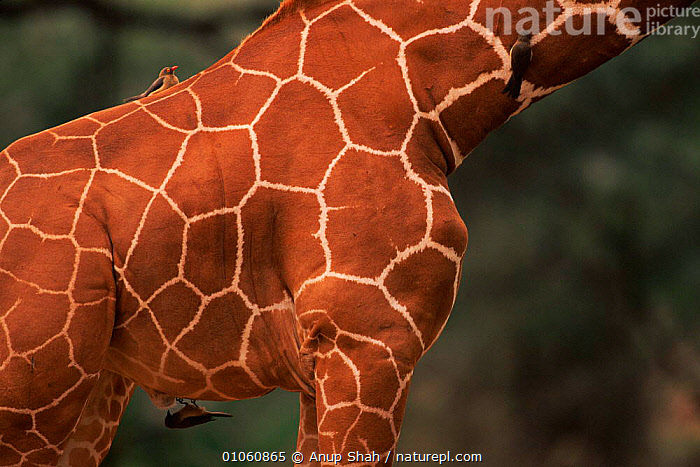 Reticulated giraffe {G. c. reticulata} with oxpeckers, Masai Mara Kenya, ANUP,MAMMALS,KENYA,ARTIODACTYLA,MARA,MASAI,AS,AFRICA,NR,MIXED SPECIES,SKIN,PATTERNS,BIRDS,SYMBIOSIS,HORIZONTAL,OXPECKER,EAST AFRICA,SHAH,CONCEPTS,PARTNERSHIP, Partnership, Partnership, Partnership,Catalogue1, Anup Shah