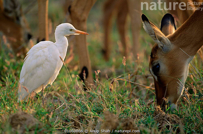 Cattle egret {Bubulcus ibis} on ground beside Impala grazing. Masai Mara NR, Kenya, EAST AFRICA,SAVANNA,GRAZING,MIXED SPECIES,GRASS,SYMBIOSIS,HERONS,MAMMALS,BIRDS,AFRICA,HORIZONTAL,Grassland,Concepts,Partnership,Plants, Anup Shah