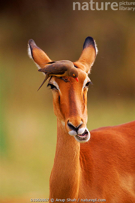 Impala (Aepyceros melampus) chewing with Oxpecker bird hunting for insects. Masai Mara NR, Kenya, East Africa, MAMMALS,HEADS,MARA,FEEDING,OXPECKER,SYMBIOSIS,VERTICAL,ARTIODACTYLA,BIRDS,EAST AFRICA,FACES,CLEANING,MASAI,NR,AFRICA,INSECTS,KENYA,MIXED SPECIES,CONCEPTS,PARTNERSHIP,INVERTEBRATES,ANTELOPES, Partnership, Partnership, Partnership,Catalogue1, Anup Shah