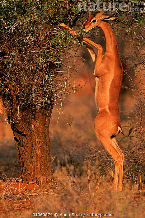 Gerenuk {Litocranius walleri} standing on hindlimbs to feed on leaves in tree, Masai Mara NR, Kenya, ANUP,KENYA,TREE,AS,MAMMALS,ARTIODACTYLA,STANDING,MARA,FEEDING,AFRICA,HINDLIMBS,LEAVES,NR,SHAH,MASAI,VERTICAL,EAST AFRICA,TREES,PLANTS, Anup Shah