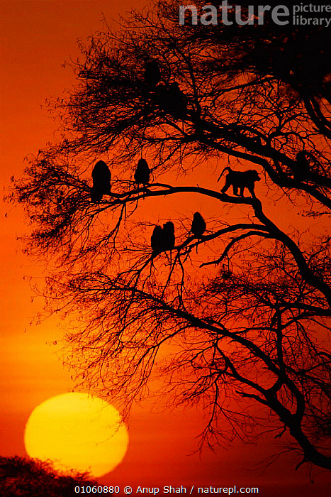 Olive baboons {Papio anubis} in tree at sunset, Masai Mara NR, Kenya, EAST AFRICA,SUNSET,PRIMATES,SHAH,COLOURFUL,TREES,MAMMALS,TREE,VERTICAL,RESERVE,KENYA,SILHOUETTES,NR,AFRICA,PLANTS,MONKEYS, Anup Shah