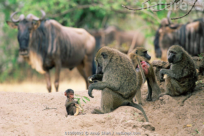 Olive baboon family group {Papio anubis} eating seeds. Wildebeest in background. Kenya, MARA,JUVENILE,FEEDING,MASAI,MIXED SPECIES,NR,BABOONS,AFRICA,ADULT,FAMILIES,PRIMATES,SEEDS,HORIZONTAL,EAST AFRICA,YOUNG,MAMMALS,Monkeys, Anup Shah