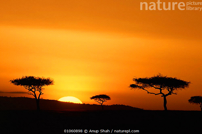 Sunset over savanna, acacia trees silhouetted on horizon. Masai Mara NR, Kenya, HORIZON,SILHOUETTES,HORIZONTAL,COLOURFUL,SKY,LANDSCAPES,Africa,EAST-AFRICA, Anup Shah