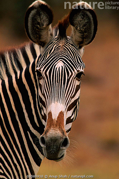 Head portrait of Grevy's zebra (Equus grevyi) Kenya, East Africa, AFRICA,EARS,EAST AFRICA,FACES,HEADS,KENYA,MAMMALS,NR,OUTSTANDING,PATTERNS,PERISSODACTYLA,PORTRAITS,STRIPES,VERTICAL,WILDLIFE,EQUINES, Anup Shah