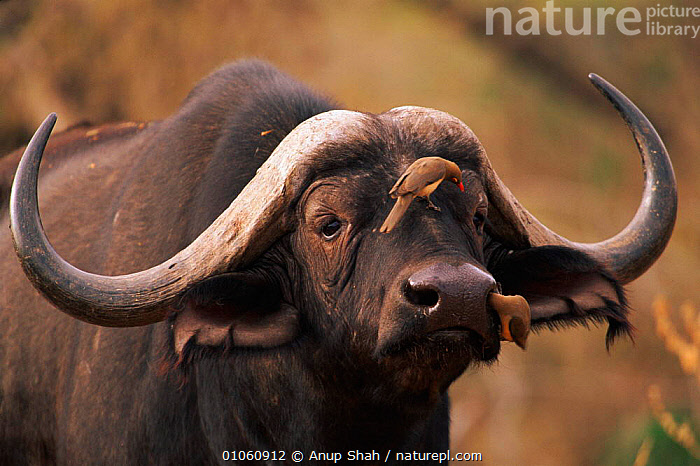 Head of African Buffalo with Red-billed Oxpecker birds {Syncerus caffer}, HORIZONTAL,MAMMALS,ARTIODACTYLA,MIXED SPECIES,PORTRAITS,SYMBIOSIS,HORNS,HEAD,AFRICA,GROOMING,HEADS,EAST AFRICA,NOSTRILS,CLEANING,BIRDS,AS,HUMOROUS,CONCEPTS,PARTNERSHIP,CATTLE, Anup Shah