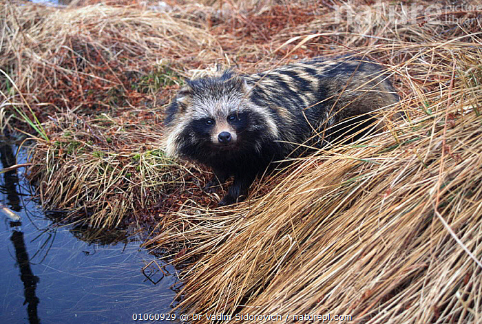 Raccoon dog at river edge {Nyctereutes procyonoides} Belarus, Russia, GLACIAL,MAMMALS,WATER,WILD,RIVERS,EUROPE,CARNIVORES,PORTRAITS, Dr Vadim Sidorovich