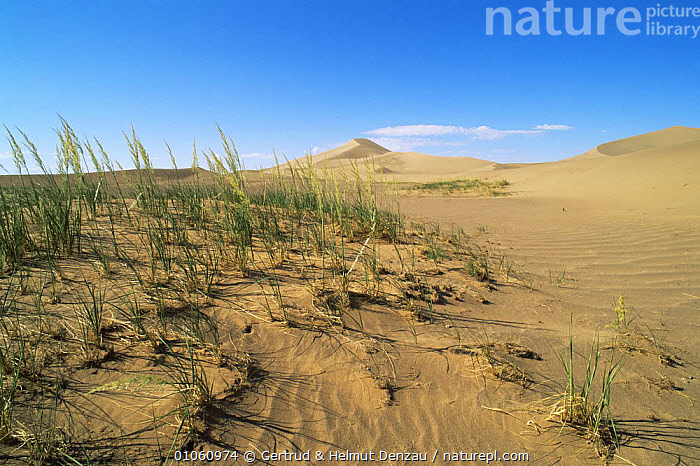 Landscape of sand dunes with grass in foreground, Gobi Desert, Mongolia., ASIA,DESERTS,HORIZONTAL,LANDSCAPES,MONGOLIA,SAND DUNES, Gertrud & Helmut Denzau