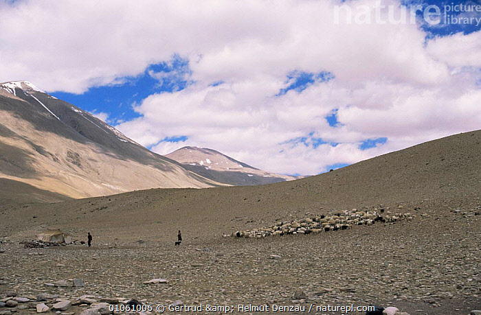 Nomadic people on hillside, with sheep and goats, Ladakh, North East India, ALPINE,ASIA,GOATS,herdsman,HIGHLANDS,INDIAN SUBCONTINENT,LIVESTOCK,MOUNTAINS,PEOPLE,SHEEP,TRADITIONAL,TRIBES , LANDSCAPES,INDIAN-SUBCONTINENT, Gertrud & Helmut Denzau