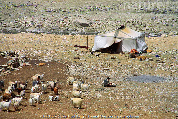 Nomadic people tending sheep and goats, with tent shelter, Ladakh, North East India, ASIA,GOATS,herdsmen,HOMES,LIVESTOCK,MOUNTAINS,PEOPLE,SHEEP,tents,TRADITIONAL,TRIBES,INDIAN-SUBCONTINENT, Gertrud & Helmut Denzau