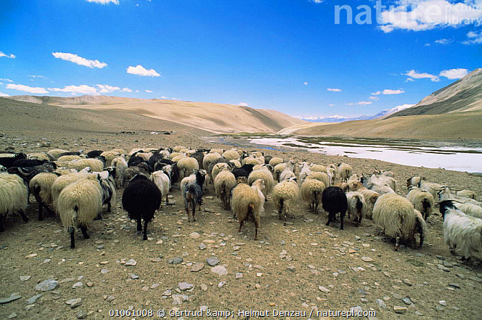 Herd of sheep and goat livestock on Tibean Plateau, Ladakh, North East India, ALPINE,ARTIODACTYLA,ASIA,GROUPS,Herds,HIGHLANDS,INDIAN SUBCONTINENT,LANDSCAPES,LIVESTOCK,MAMMALS,MOUNTAINS,SHEEP,INDIAN-SUBCONTINENT, Gertrud & Helmut Denzau
