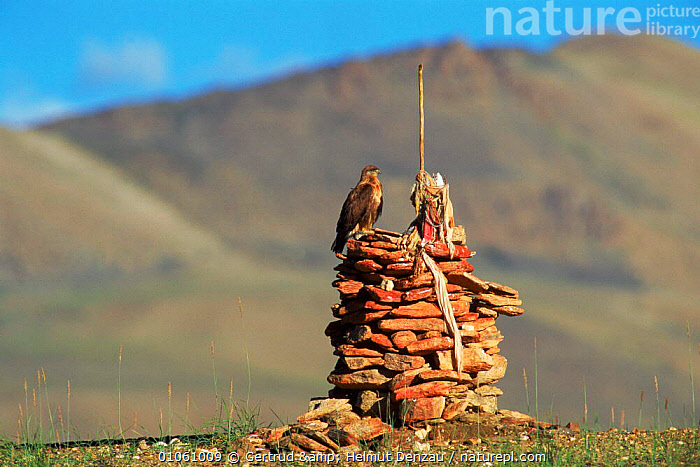 Buzzard perched on 'Ovoo' rock pile at which offerings are made, Ladakh, North East India, ALPINE,ASIA,BIRDS,buddhism,buddhist,CULTURES,HIGHLANDS,MOUNTAINS,Raptors,ROCKS,spiritual,TRIBES,INDIAN-SUBCONTINENT, Gertrud & Helmut Denzau