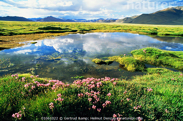 Tibetan Plateau landscape with wildflowers next to meltwater pool, Ladakh, North East India, ASIA,flowering,GRASSLAND,HIGHLANDS,INDIAN SUBCONTINENT,MOUNTAINS,REFLECTIONS,WETLANDS , LANDSCAPES,INDIAN-SUBCONTINENT, Gertrud & Helmut Denzau
