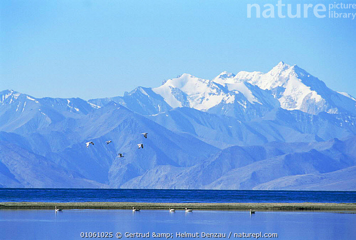 Barheaded geese (Anser indicus) fly over water with Himalayas behind, Ladakh, North East India, ALPINE,ASIA,BIRDS,GEESE,GROUPS,HIGHLANDS,INDIAN SUBCONTINENT,LANDSCAPES,MOUNTAINS,WATER,WATERFOWL,WETLANDS,INDIAN-SUBCONTINENT, Gertrud & Helmut Denzau