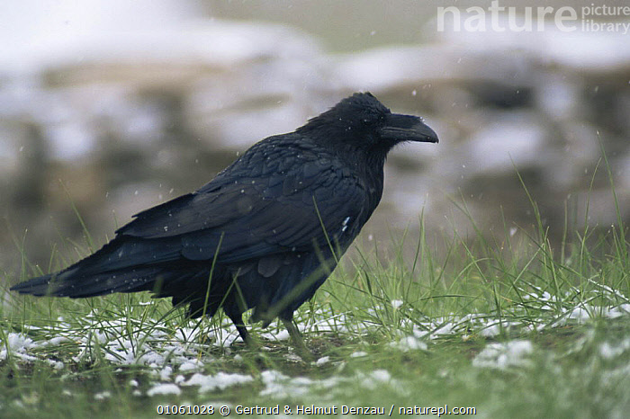 Common raven in snow {Corvus corax} standing on grass. Ladakh, India, ALPINE,BIRDS,CORVIDS,CROWS,HORIZONTAL,INDIAN SUBCONTINENT,PASSERINES,SNOW,STANDING,VERTEBRATES,Asia, Gertrud & Helmut Denzau