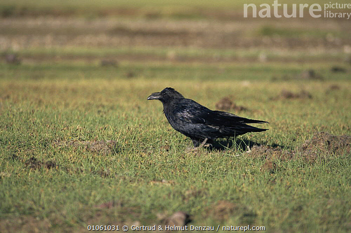 Side profile of Common raven {Corvus corax} standing on grass. Ladakh, NE India, ALPINE,BIRDS,CORVIDS,CROWS,HORIZONTAL,INDIAN SUBCONTINENT,PASSERINES,PROFILE,STANDING,VERTEBRATES,Asia, Gertrud & Helmut Denzau