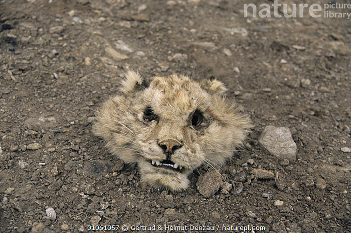 Head of dead Snow leopard {Panthera uncia}. Ladakh, NE India, BIG CATS,CARNIVORES,DEATH,ENDANGERED,HEADS,INDIAN SUBCONTINENT,LEOPARDS,MAMMALS,SAD,SNOW,Asia,Concepts, Gertrud & Helmut Denzau