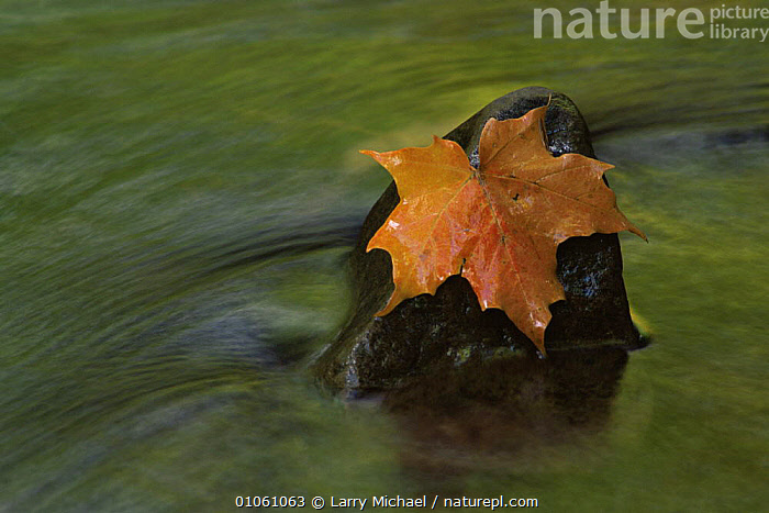 Maple leaf caught on stone in river flow, USA, ARTY SHOTS,AUTUMN,CLOSE UPS,HORIZONTAL,LEAVES,RED,RIVERS,USA,WATER,North America, Larry Michael