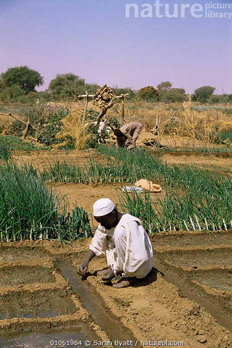 Planting vegetables with Shendough well irrigation system in background, Darfur, Sudan  1986  ,  AFRICA,AGRICULTURE,CROPS,FARMLAND,GARDENS,IRRIGATION,NORTH AFRICA,PEOPLE,RURAL,TRADITIONAL,VEGETABLES,VERTICAL  ,  Sarah Byatt