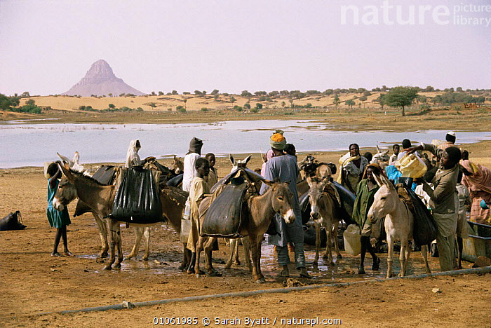Collecting water from lake in leather water skins, using donkeys to carry back to villages, Mellit, Darfur, Sudan 1986  ,  AFRICA,CARRYING,DONKEYS,FRESHWATER,GROUPS,LAKES,LIVESTOCK,NORTH AFRICA,PEOPLE,TRADITIONAL,WATER,WATERHOLE,WORKING  ,  Sarah Byatt
