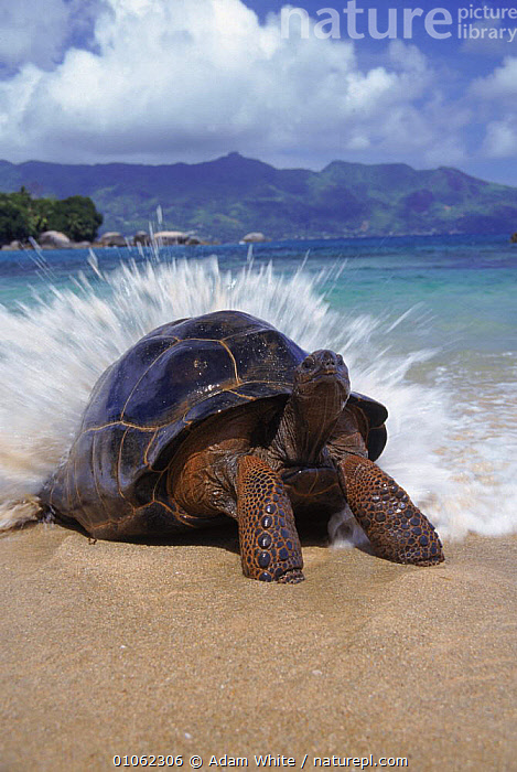 Giant tortoise {Geochelone elephantopus}  wave breaking on back, Aldabra, Seychelles  ,  ACTION,BEACHES,CHELONIA,DRAMATIC,MARINE,OUTSTANDING,REPTILES,SEYCHELLES,TORTOISES,TROPICAL,VERTEBRATES,VERTICAL,WATER,WAVES,CONCEPTS,INDIAN OCEAN ISLANDS  ,  Adam White