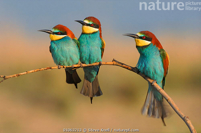 Three European bee eaters perched on branch, Greece, BIRDS,HORIZONTAL,SKN,EUROPE,GREECE,BEAKS,PERCHED,STEVE,PERCHING,PORTRAIT,THREE,COLOURFUL,CUTE,KNELL,BRANCH,FEATHERS, STEVE KNELL
