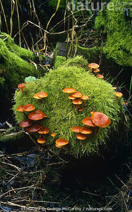 Velvet shank fungus growing in moss {Flammulina velutipes} Sussex, UK  ,  EUROPE, FUNGI, MOSS, PLANTS, PLEUROTACEAE, UK, ENGLAND, GROUPS, VERTICAL, WOODLANDS,United Kingdom  ,  George McCarthy