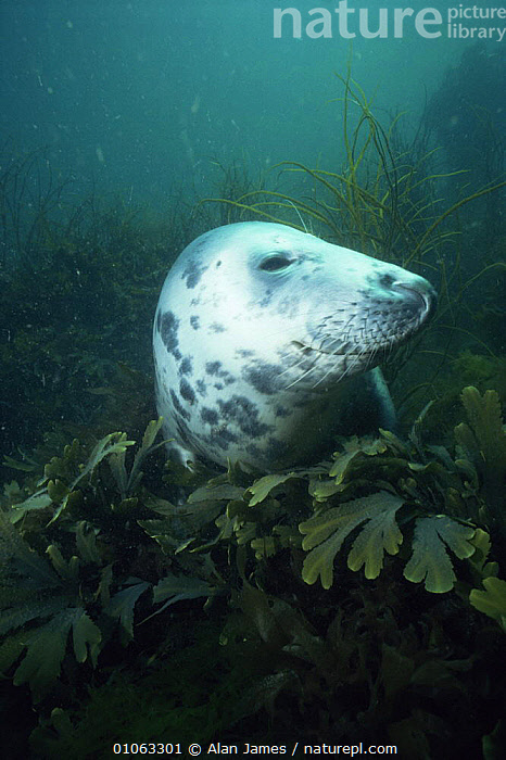 Grey seal {Halichoerus grypus} underwater amongst seaweed, UK  ,  ALGAE,AQUATIC,CARNIVORES,coastal waters,EUROPE,HEADS,MAMMALS,MARINE,PINNIPEDS,PLANTS,sea,SEALS,SEAWEED,UK,UNDERWATER,VERTEBRATES,VERTICAL,United Kingdom,British  ,  Alan James
