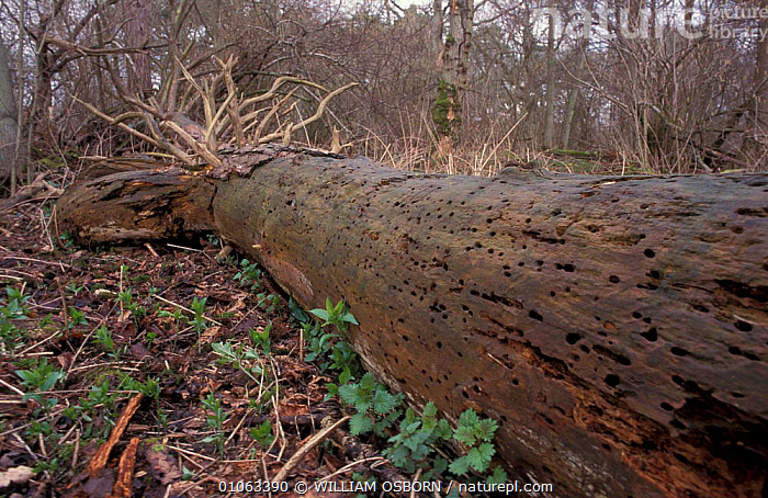 Fallen Scots Pine tree with holes from wood boring insects Pinus sylvestris}  ,  BARK,BRANCHES,DEAD,DECAY,DECAYING,DECOMPOSING,DECOMPOSITION,GYMNOSPERMAE,LEAVES,PLANTS,RECYCLING,ROTTEN,ROTTING,SIGNS,TREES,TRUNK,WOODLAND,WOODLANDS  ,  WILLIAM OSBORN
