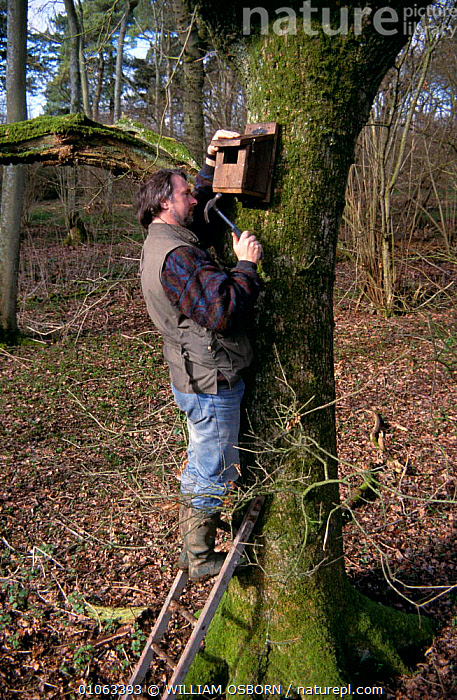 Man securing nest Box for Spotted Flycatcher to tree trunk 2-3 metres above ground, UK, BARK,BIRDS,BRANCHES,ENGLAND,EUROPE,FLYCATCHERS,PASSERINES,PEOPLE,RESERVE,SPOTTED,UK,VERTEBRATES,VERTICAL,WINTER,WOODLANDS,United Kingdom,Plants,British, WILLIAM OSBORN