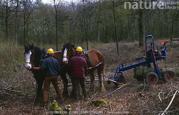 Clydesdale horses at work in woodland at Ravensroost Nature Reserve, Wiltshire, UK, BRANCHES,CLEARANCE,CLEARING,CONSERVATION,DOMESTIC,ENGLAND,EUROPE,HORSES,LIVESTOCK,MACHINERY,MAMMALS,PEOPLE,PERISSODACTYLA,RESERVE,TREES,UK,VERTEBRATES,WINTER,WOODLANDS,WORKING,United Kingdom,Plants,British,Equines, WILLIAM OSBORN