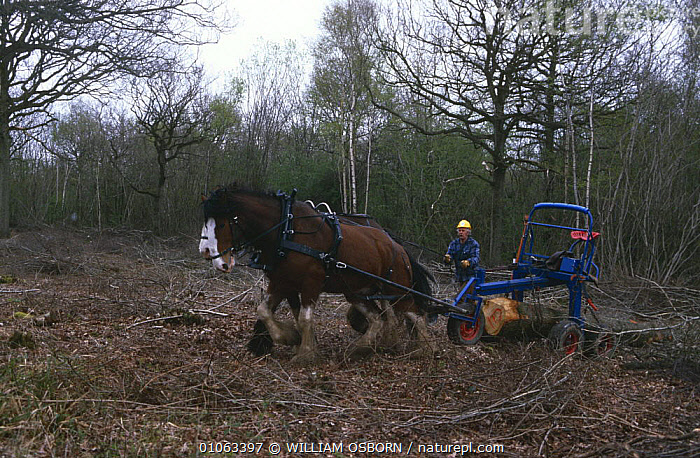 Clydesdale horses at work in woodland at Ravensroost Nature Reserve, Wiltshire, UK, BRANCHES,CLEARANCE,CONSERVATION,ENGLAND,EUROPE,HORSES,LIVESTOCK,MACHINERY,MAMMALS,PEOPLE,PERISSODACTYLA,RESERVE,TREES,UK,VERTEBRATES,WINTER,WOODLANDS,WORKING,United Kingdom,Plants,British,Equines, WILLIAM OSBORN