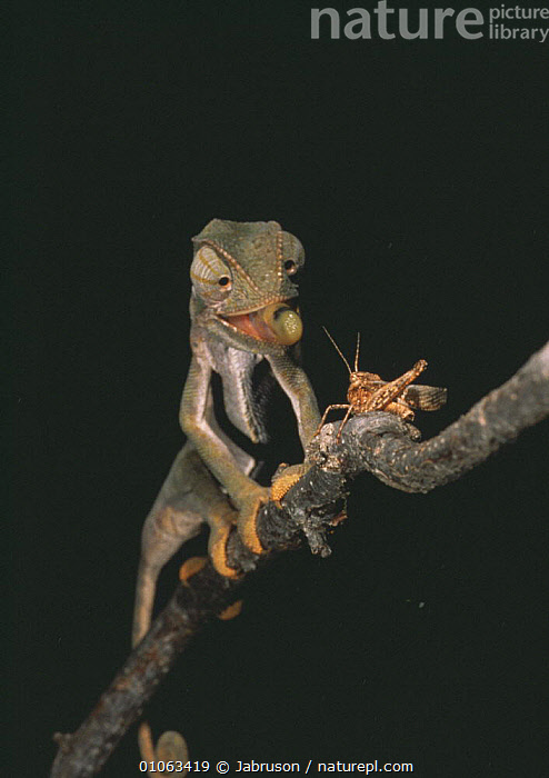 Graceful chameleon {Chamaeleo gracialis} on branch, predating grasshopper, Africa, ACTION,AFRICA,BEHAVIOUR,CHAMELEONS,FEEDING,HUMOROUS,INSECTS,LIZARDS,MIXED SPECIES,NIGHT,PORTRAITS,PREDATION,REPTILES,TONGUES,VERTEBRATES,VERTICAL,Concepts,Invertebrates, Chameleons , Bruce Davidson, Jabruson