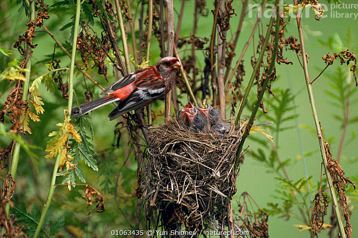 Long tailed rose finch {Uragus sibiricus} at nest with chicks, Ussuriland, Far East Russia., BABIES,BIRDS,CHICKS,FAMILIES,FINCHES,HORIZONTAL,NESTS,PARENTAL,RUSSIA,VERTEBRATES,VERTICAL, Yuri Shibnev