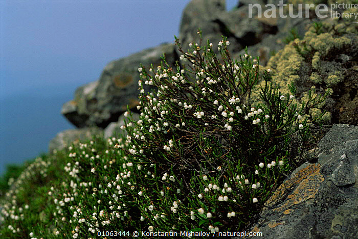 Cassiope (Cassiope sp) flowering in alpine zone of Sikhote-Alin region, Primorsky, Far East Russia (Ussuriland)  ,  ALPINE,DICOTYLEDONS,FLOWERS,JUGLANDACEAE,PLANTS,RUSSIA,TUNDRA  ,  Konstantin Mikhailov