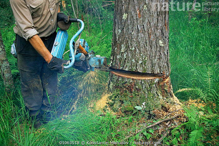 Man felling a tree with power saw, Primorsky region, Ussuriland, Far East Russia, DICOTYLEDONS,FORESTRY,JUGLANDACEAE,logging,MACHINERY,PEOPLE,PLANTS,primorskiy,RUSSIA,TREES,TRUNKS, Konstantin Mikhailov
