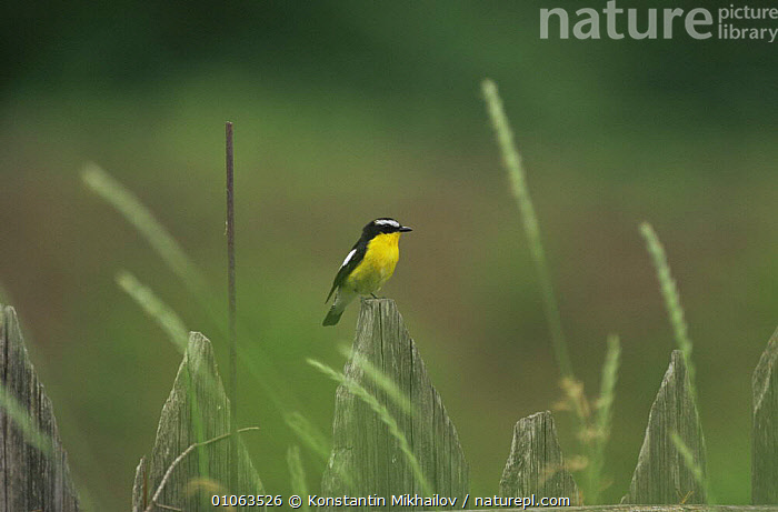 Yellow rumped flycatcher {Ficedula zanthopygia} male perching on wooden fence, Ussuriland, Primorsky, Far East Russia  ,  BIRDS,FLYCATCHERS,HORIZONTAL,MALES,RUSSIA,VERTEBRATES,VERTICAL,YELLOW  ,  Konstantin Mikhailov