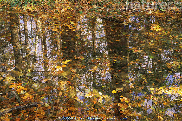 Autumn tree reflections in woodland pond with fallen leaves, Ussuriland, Primorsky, Far East Russia  ,  ARTY SHOTS,AUTUMN,HORIZONTAL,NATURE ABSTRACT,REFLECTIONS,RUSSIA,TREES,WOODLANDS,Plants  ,  Yuri Shibnev