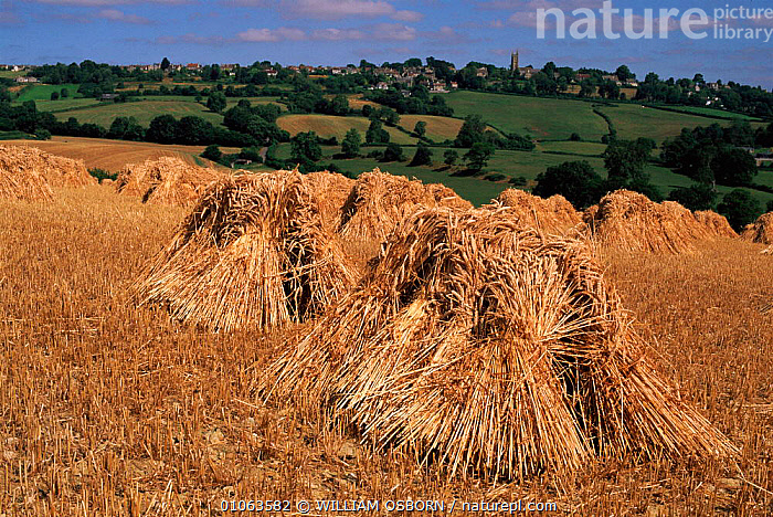 View towards Colerne with stooks of wheat grown for thatching straw, Wilts, UK, FARMING,HARVESTING,STRAW,WO,WHEAT,AGRICULTURE,LANDSCAPES,CHERILL,SCENIC,TREES,OSBORN,SKY,THATCHING,WILTS,UK,VIEW,HORIZONTAL,GROWN,EUROPE,STOOKS,TRADITIONAL,WILLIAM,UNITED KINGDOM,PLANTS,BRITISH,ENGLAND, WILLIAM OSBORN