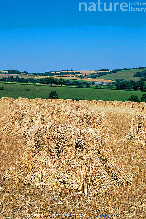 View towards Colerne with stooks of wheat grown for thatching straw, Wilts, UK, AGRICULTURE,CROPS,ENGLAND,EUROPE,HARVESTING,LANDSCAPES,UK,VERTICAL,United Kingdom,British, WILLIAM OSBORN