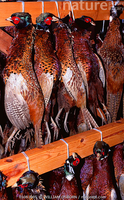 Dead Pheasants {Pheasant colchicus} hanging in food larder after successful hunt, UK, BIRDS,CRUELTY,DEATH,EUROPE,GALLIFORMES,GAME,GAME BIRDS,HANGING,HUNTING,HUNTING SPORT,PHEASANTS,UK,VERTEBRATES,VERTICAL,United Kingdom,British, WILLIAM OSBORN
