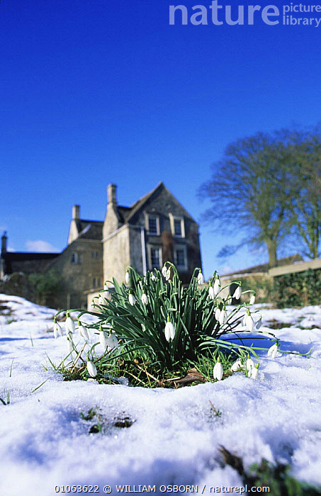 Snowdrops growing in snow covered churchyard {Galanthus nivalis} Gloucestershire, UK  ,  AMARYLLIDACEAE,BUILDINGS,ENGLAND,EUROPE,FLOWERS,GROUPS,LANDSCAPES,MONOCOTYLEDONS,PLANTS,SNOW,SPRING,UK,VERTICAL,WINTER,United Kingdom,British  ,  WILLIAM OSBORN