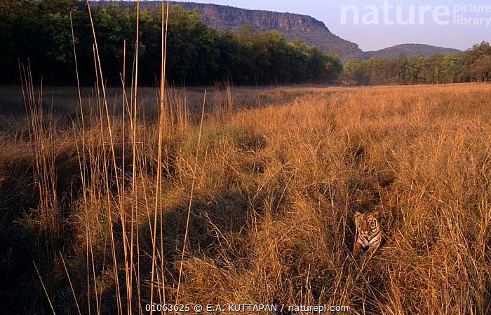 Bengal tiger {Panthera tigris tigris} in long grass,  Bacchi's adolescent male tiger cub (20-22 months) Bandhavgarh NP, India, ASIA,BIG CATS,CAMOUFLAGE,CARNIVORES,CATS,ENDANGERED,INDIA,LANDSCAPES,MAMMALS,RESERVE,TIGERS, E.A. KUTTAPAN
