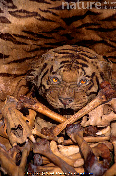 Tiger skin, skull and bones {Panthera tigris} illegal trade, India, ASIA,BIG CATS,CARNIVORES,ENDANGERED,INDIA,MAMMALS,SKELETON,TIGERS,VERTICAL,WILDLIFE TRADE, Vivek Menon