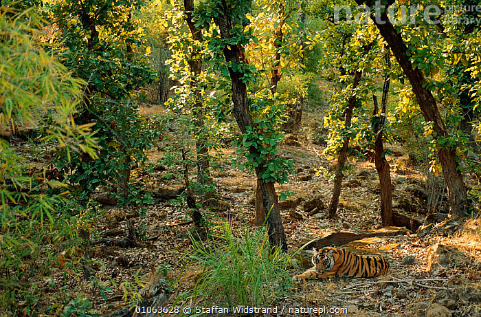 Young male Bengal tiger {Panthera tigris tigris} Bandhavgarh NP, India., CAMOUFLAGE,CARNIVORES,CATS,CONSERVATION,DOWN,ENDANGERED,HABITAT,INDIA,INDIAN SUBCONTINENT,LANDSCAPES,LYING,MAMMALS,PROTECTED,TREES,Asia,Plants,Tigers,Big Cats, Staffan Widstrand