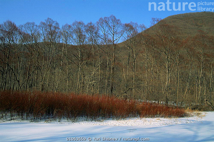 Early spring landscape before the snow melt, Primorsky region, Far East Russia (Ussuriland)., ASIA,Frozen,LANDSCAPES,primorskiy,RUSSIA,SNOW,SPRING,TREES,Plants,CIS, Yuri Shibnev