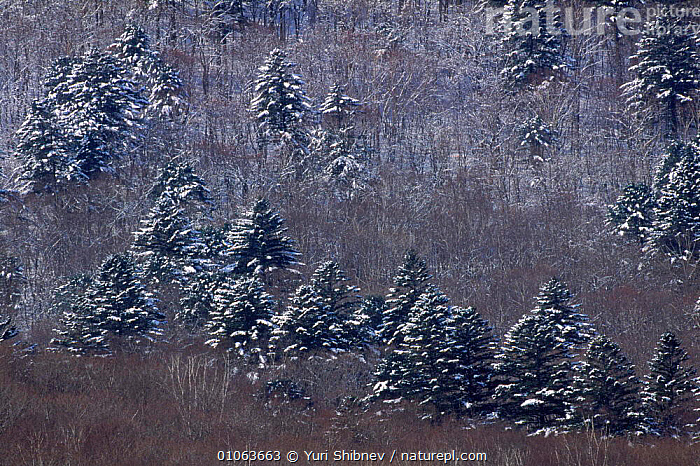 Early spring landscape with conifers. Primorsky, Far East Russia (Ussuriland)., BACKGROUNDS,CONIFEROUS,HORIZONTAL,LANDSCAPES,PATTERNS,SHIBNEV,SNOW,SPRING,YS,YURI,CIS, Yuri Shibnev