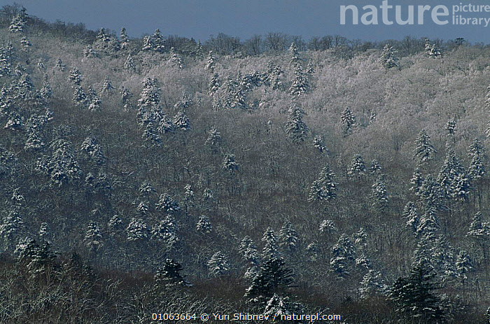 Early spring landscape with conifers with slight dusting of snow still, Primorsky region, Far East Russia (Ussuriland).  ,  ASIA,CANOPY,CONIFEROUS,FORESTS,LANDSCAPES,RUSSIA,SNOW,SPRING,TREES,WINTER,WOODLANDS,Plants,CIS  ,  Yuri Shibnev