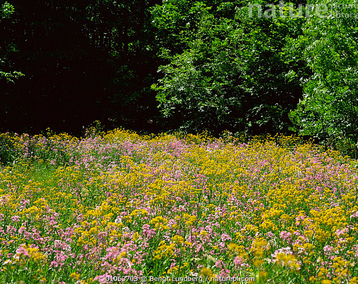 Wildflower meadow in summer, Garphyttan NP, Sweden, COUNTRYSIDE,EUROPE,HABITAT,LANDSCAPES,PLANTS,RESERVE,SCANDINAVIA,SUMMER,SWEDEN,Wild,wildflowers, Scandinavia, Bengt Lundberg